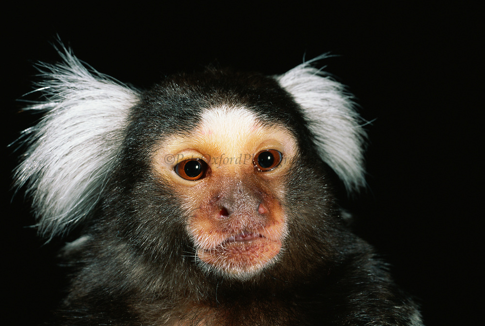 Tufted-ear Marmoset<br />Callithrix jucchus <br />BRAZIL
