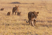 Two lionesses and their cubs (Panthera Leo) walk together through the grass, Savuti, Botswana