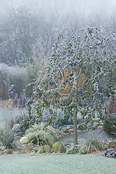 Sophora japonica 'Dot' in frost