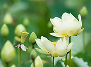 American lotus petals bending with the wind
