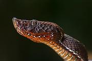 Amazonian Toadheaded Pitviper (Bothrocophias hyoprora)<br /> Amazon<br /> ECUADOR<br /> Vivarium ID # 3677<br /> Captive