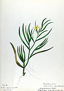 """Sketchbook 1 - Water-color sketches of plants of North America and Europe [graphic], Painted between June 1888 to September 1910 by Helen Sharp. Eighteen albums of water-color sketches by Helen Sharp of flowering plants and shrubs common to the United States, especially New England, as well as to Bermuda and parts of Europe, dated between June 1888 and Sept. 1910. Sketches in water-color and ink on paper (26 x 18 cm. or smaller) include botanical captions in Latin, along with Sharp""""s notes on the common name and physical characteristics of each plant, and location and date of drawing. There is also a table of contents at the front of each sketchbook. The first 16 albums contain sketches of plants common in New England, in towns of Massachusetts such as Nantucket, Taunton, Boston, No. Andover, Marblehead, Hingham, Gloucester; Maine (York, Sorrento); New Hampshire (Surrey), and Connecticut. Volume 17 contains sketches of plants made by the artist while traveling in Switzerland, Italy, England, and France, while v. 18 contains sketches of tropical fruits and flowers of Bermuda, completed during Sharp""""s visits of 1892, 1893, and 1903."""