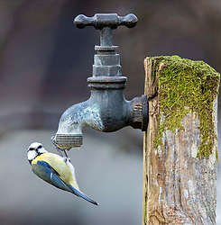 As the current cold snap bites Scotland please remember that garden birds need regular food and water to see them through this cold snap. Images of a blue tit from a garden in Oban.ÉÉ.. (c) Stephen Lawson | Edinburgh Elite media