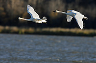 Photo: Randy Vanderveen.Grande Prairie Alberta.Trumpeter Swans take  flight over Cutbank Lake in the South Peace as they prepare for their migration to wintering grounds in the Yellowstone area of Wyoming and Montana.