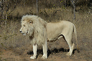 White lion, Panthera leo, Limpopo, South Africa. This is NOT a seperate species or subspecies, just a colour variation. There are a few in the wild, but they are mainly bred in captivity for zoos .