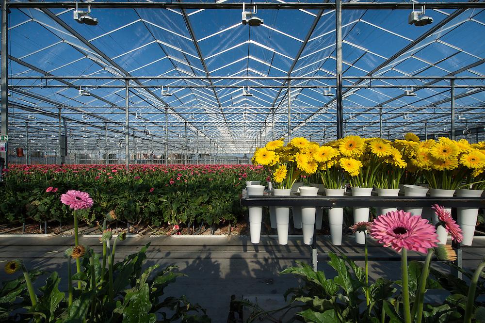"""Production des gerberas par Florein Gerbera's, Naaldwijk, http://www.floreingerbera.com<br /> 35.500 m2 de serres. ?? collaborateurs. Existe depuis 1998.<br /> 27 espèces de gerberas fleuries sont produits ici, surtout pour l'exportation vers la Russie. Les plantes sont exposées à une lumière de n10.000 LUX. <br /> Région Westland, Pays-Bas. <br /> Westland est la région  aux Pays-Bas où des fleurs et plantes poussent dans des énormes serres  robotisées et automatisées. On appelle cette région aussi """"la ville de verre"""". Ces serres sont des véritables usines à fleurs et plantes, avec une production constante et quotidienne, dont une grande partie est destinée à l'exportation."""