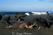 black vultures, Coragyps atratus, scavenge carcass of olive ridley sea turtle, Lepidochelys olivacea, Ostional, Costa Rica ( Pacific ) turtle was probably a victim of illegal shrimp trawling or fish netting just offshore