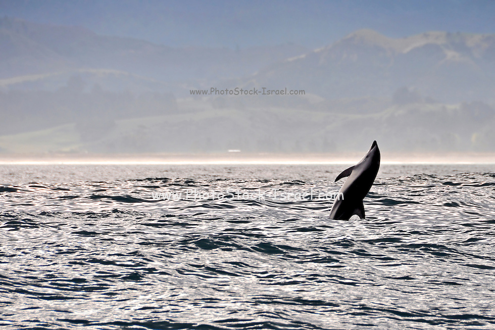 Whale off the shores of Kaikoura, South Island, New Zealand