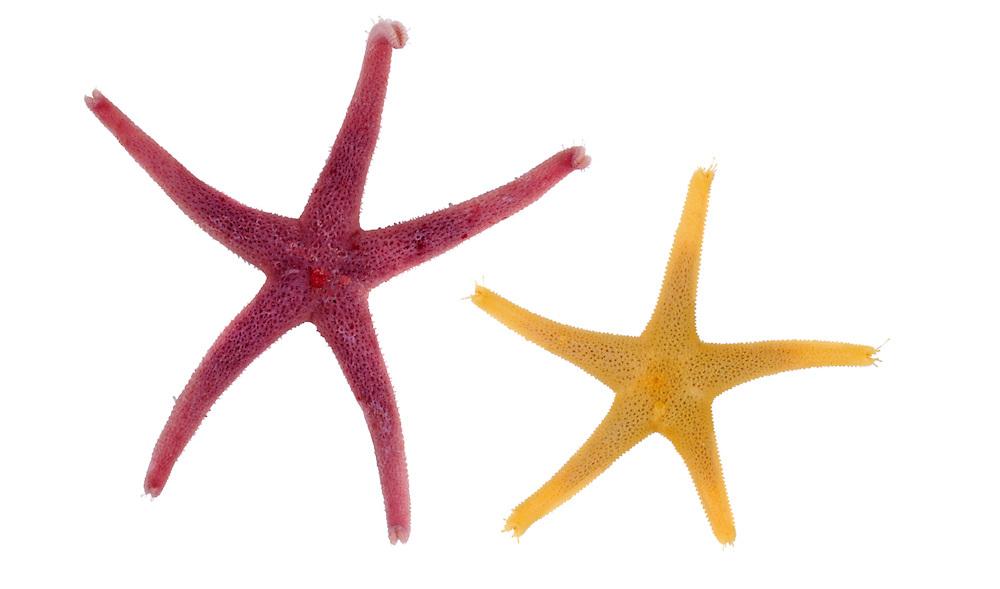 Bloody Henry Starfish - Henricia oculata