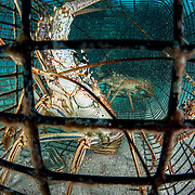 Caribbean spiny lobster (Panulirus argus) caught in a fishing trap underwater.