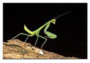 Green praying mantis from Komodo Island, Indonesia. Nikon D5, 105mm micronikkor, f13, EV-0.67, 1/250 sec, ISO250, 3 x SB2000 macroflash, Manual modus