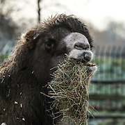 Camels as part of the stocktake at the London zoo on the 3rd January 2017,UK. Photo by See li/Picture Capital