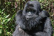 A female mountain gorilla (Gorilla beringei beringei)  scratching her shoulder while sitting in the forest, Parc de Volcanos, Rwanda, Africa