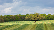 Lone Oak revisited, once covered with rime ice, now bathed in warm spring sunlight; standing proud amid rows of mown hay in a Wisconsin field, southern Dane County. Photo take May 6, 2021.