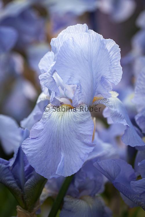 Iris 'Jane Phillips' - tall bearded iris