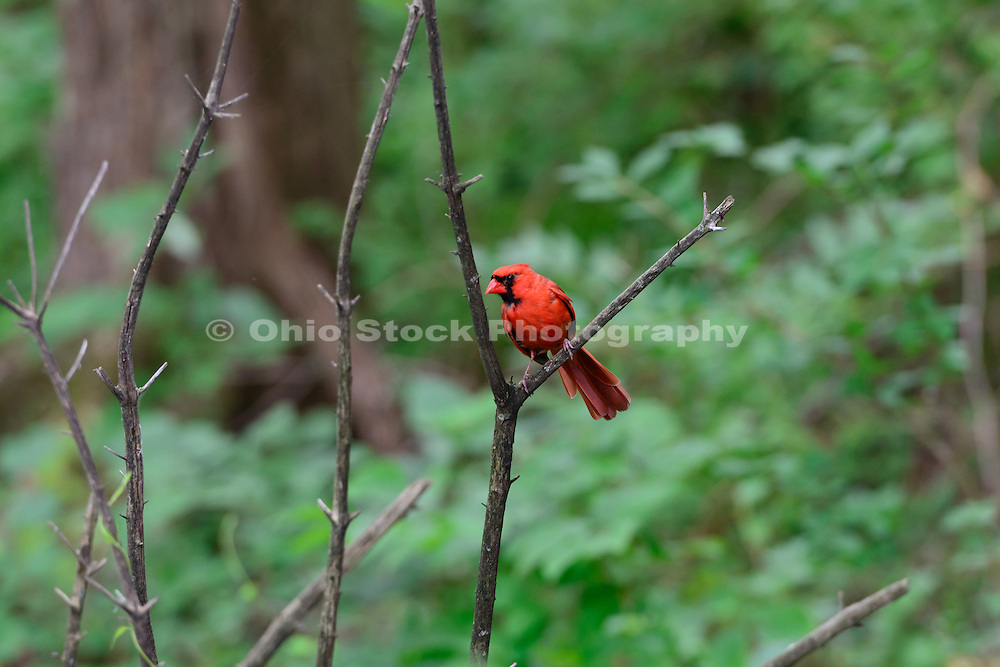 Summer photo of a male Northern Cardinal.