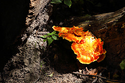 Shelf fungus shines a brilliant orange and yellow color when the sun brings it out of the shadows.