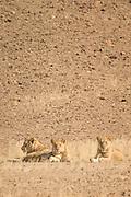 Desert Lions, Hoanib River, Skeleton Coast, Northern Namibia, Southern Africa