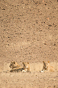 Desert Lions, Hoanib River, Skeleton Coast, Northern Namibia, Southern Africa