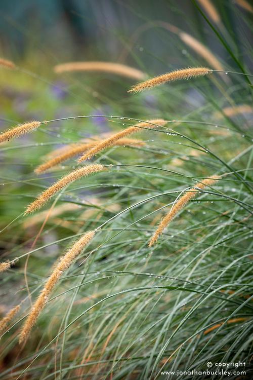 Pennisetum macrourum Blue Leaved Form - African feather grass