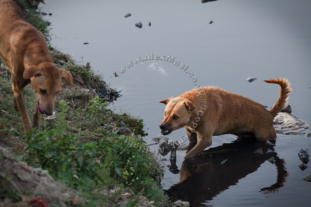 A stray dog is protecting a carcass from another dog on a bank of the heavily polluted and semi-dry Yamuna River next to the Taj Mahal, in Agra.