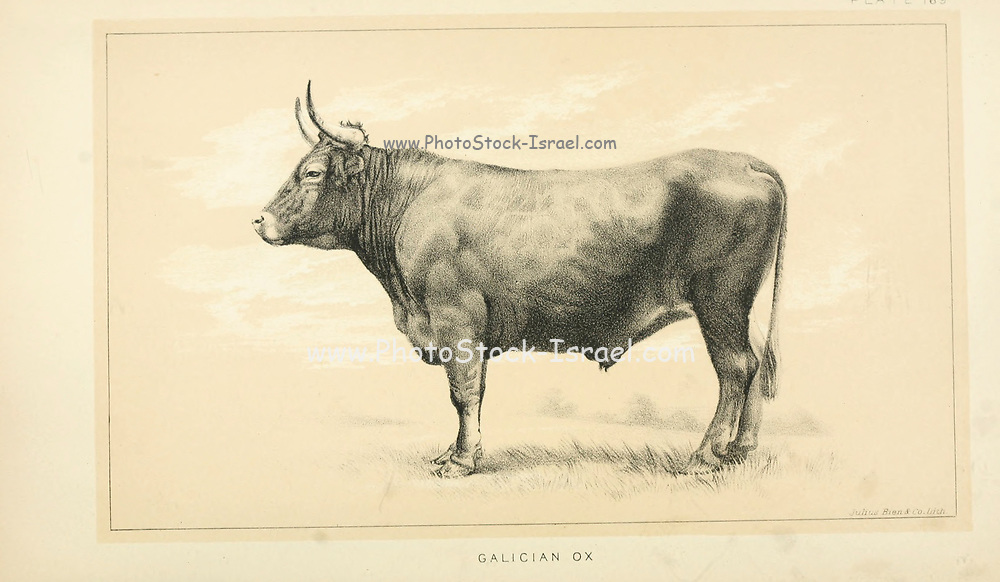 Galician Ox from Cattle and dairy farming. Published 1887 by Govt. Print. Off. in Washington. United States. Bureau of Foreign Commerce (1854-1903)