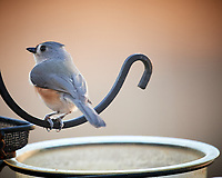 Tufted Titmouse. Image taken with a Nikon D5 camera and 600 mm f/4 VR telephoto lens (ISO 1600, 600 mm, f/4, 1/60 sec).