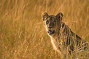 Image of a female lion (Panthera leo) in the Masai Mara National Reserve in Kenya, Africa by Randy Wells