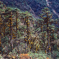Subtropical rainforest thrives in the remote and little populated Hinku Valley in the Khumbu region of Nepal's Himalaya.