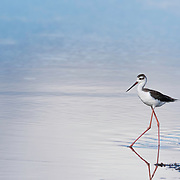 Black-necked stilt (Himantopus mexicanus) walking through shallow water at Merritt Island NWR on Florida's Atlantic coast. The stilt is delicate in appearance, with very long legs relative to its body size. Earth Shots photo of the day on 02.21.17. Finalist, 2018 Festival de l'Oiseau et de la Nature international wild bird photo competition.