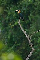 Blyth's Hornbill (Rhyiceros plicatus) male perched on a dead tree.