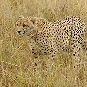 Cheetah (Acinonyx jubatus)  Masai Mara National Park. Kenya. Africa.
