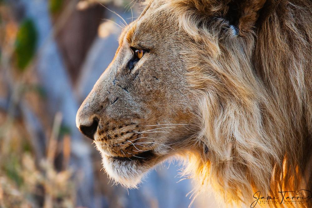A close-up profile of a male lion (Panthera Leo) in morning sun, Savuti, Chobe National Park, Botswana,Africa