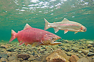 Chinook Salmon (with rainbow trout in background)<br /> <br /> Patrick Clayton/Engbretson Underwater Photography