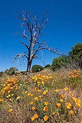 California poppies (Eschscholzia californica) grow around the base of a snag in Mount Diablo State Park near Clayton, California.