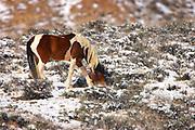 Feral Horse, Equus ferus, At McCullough Peaks Wildlife Management Area, Wyoming, United States, grazing in snow