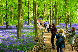 © Licensed to London News Pictures. 30/04/2019. ASHRIDGE, UK. Visitors photograph the bluebells bloom in Dockey Wood, Hertfordshire.  As the popular location experiences high numbers of visitors, the National Trust has imposed an entrance fee in recent years during busy periods with barricades of twigs and branches to demarcate pathways to protect the delicate flowers from being trampled.  Photo credit: Stephen Chung/LNP