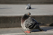 Urban pigeons in London, UK.