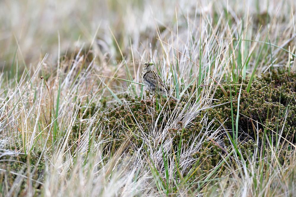 Falkland pipit (Anthus correndera) on Monday 5th February 2018.