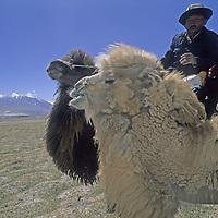 CHINA, Xinjiang. Khyrgiz nomad rides Bactrian camel near Lake Karakul. 7546m Mustagh Ata (Pamir Mts.) bkg.