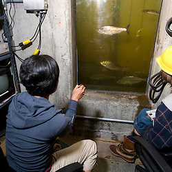 Counting fish as they pass through the fish elevator at the Holoke Dam in Holyoke, Massachusetts.  Connecticut River.