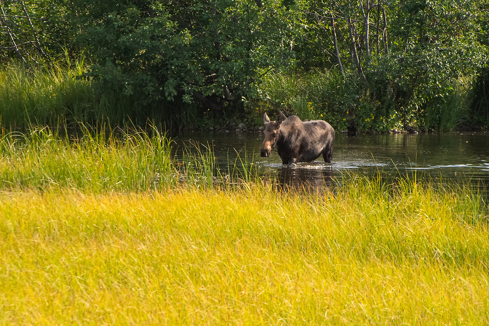 Largest and heaviest of our native North American deer, moose are rapidly declining in numbers due to a number of factors other than habitat loss. Increasing numbers of white-tail and black-tail deer due to predator decline are introducing new parasitic diseases such as brainworm and liver fluke into already stressed populations of adult breeding moose. This cow was seen foraging in a pond near the Idaho-Wyoming border near Jackson Hole.