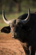 Buffalo calf<br /> Exotic Game Breeders / Eden Farm<br /> Limpopo Province<br /> South Africa