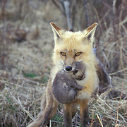 Red Fox, (Vulpus fulva) Adult moving young to different location. Rocky mountains. Montana. Captive Animal.