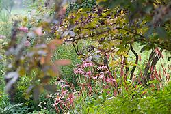 Echinacea purpurea 'Magnus' with Persicaria amplexicaulis 'Firetail' growing under Sambucus nigra
