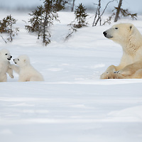 Polar bear mother supervising her cubs while they play close by.