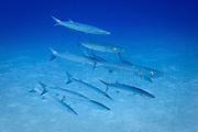 Chevron, blackfin or blacktail Barracuda (sphyraena qenie) on tropical Agincourt reef, Great Barrier Reef, Queensland, Australia. <br />