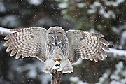 Great gray owl (Stix nebulosa)hunting voles on a snowy day in Yellowstone National Park