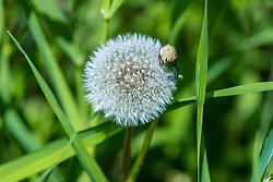 White puffy dandelion bloom
