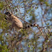Ring-tailed lemur foraging in a tree. Berenty Reserve, Madagascar